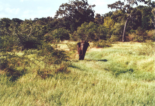 elephant-sri-lanka