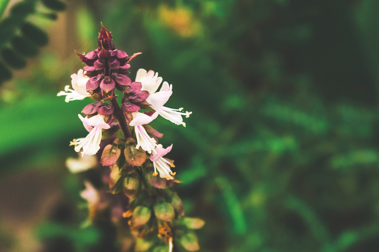Tulsi-Holy-Basil-Flower-Herb