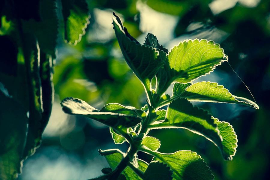 boldo-liver-herb