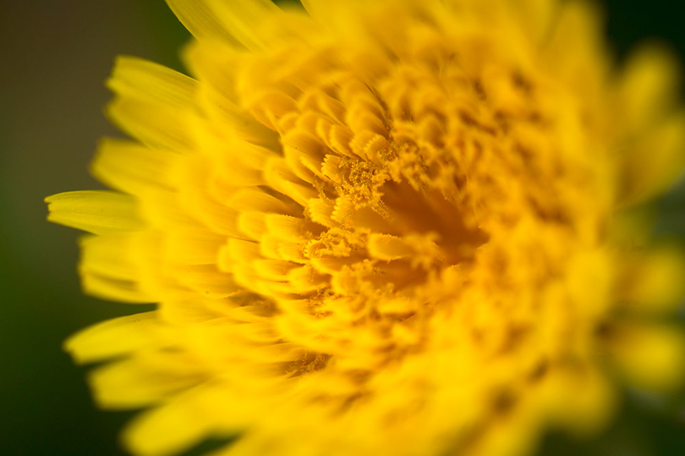 dandelion-root-tea-health-benefits-bright