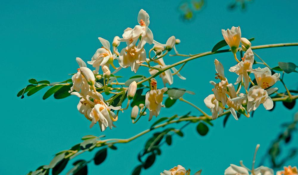 Moringa-leaves-benefits-health-flowers-tree-surreal
