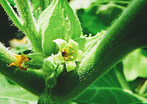 Ashwagandha: The Ancient Indian Superherb That Rejuvenates Your Body and Brain From the Inside Out