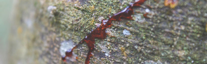 sangre-de-drago
