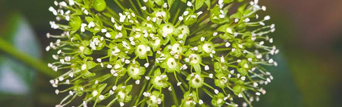 siberian-ginseng-antiviral-herb