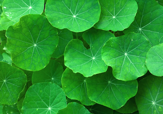 Gotu Kola: The Extraordinary Benefits of the Herb of Longevity