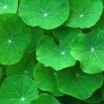 Gotu Kola Leaves