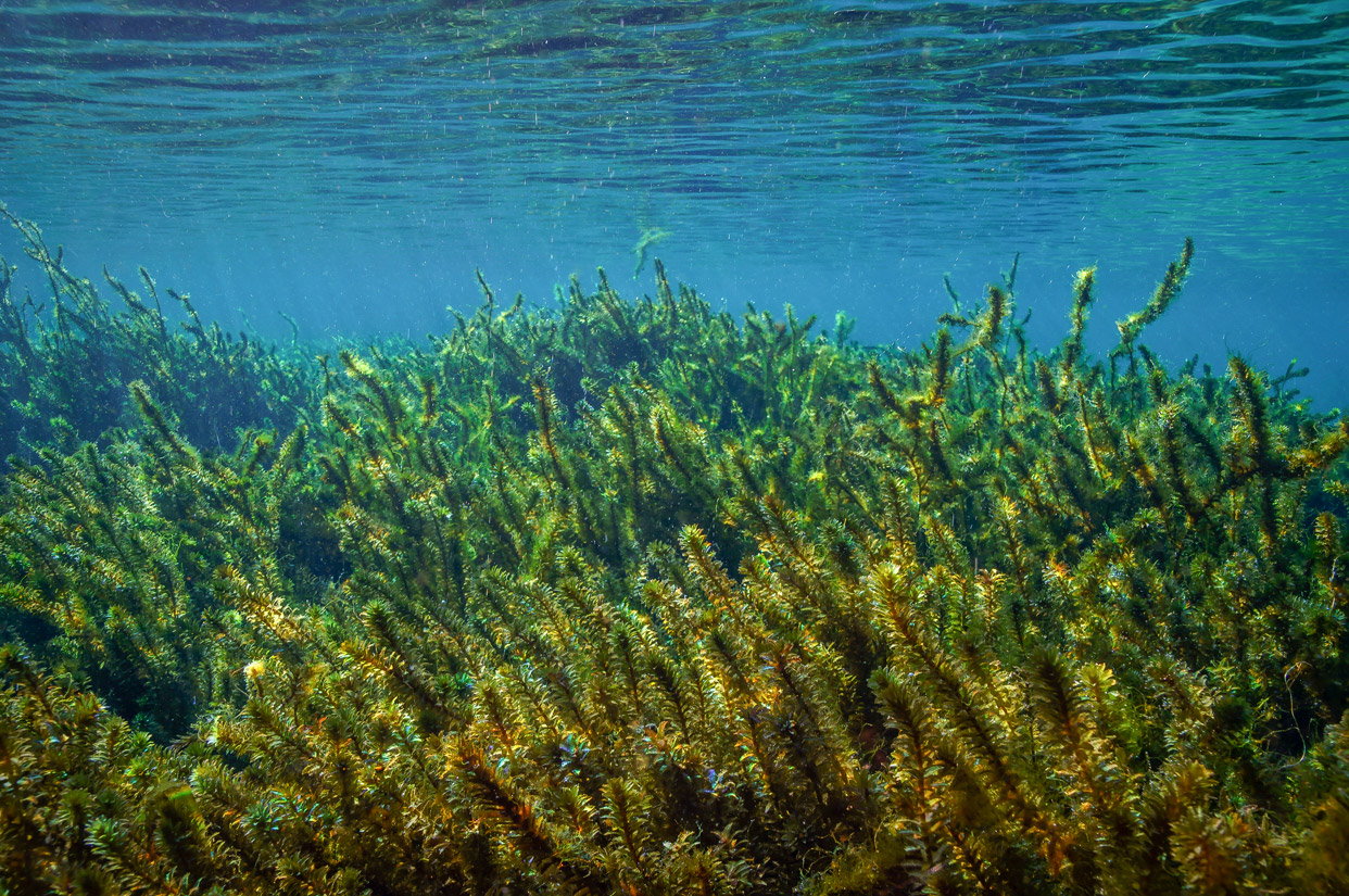 Hydrilla-Verticillata-superfood