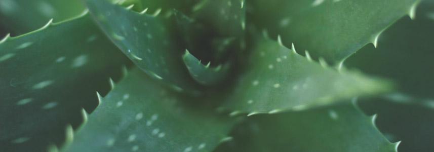 aloe-vera-plant-longevity-diet