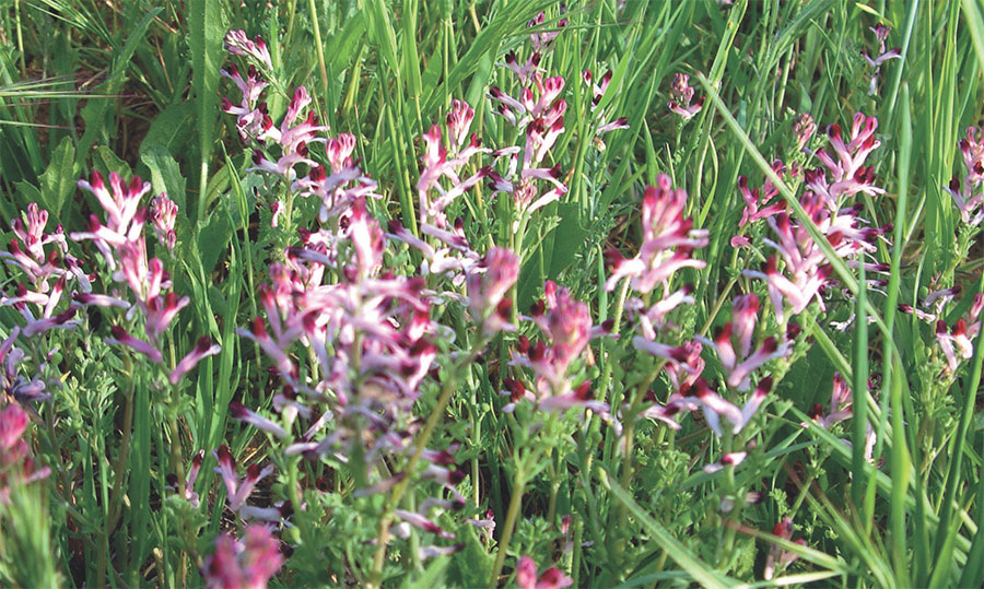 fumitory-liver-cleanse