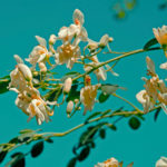 Moringa-leaves-benefits-health-flowers-tree-surreal